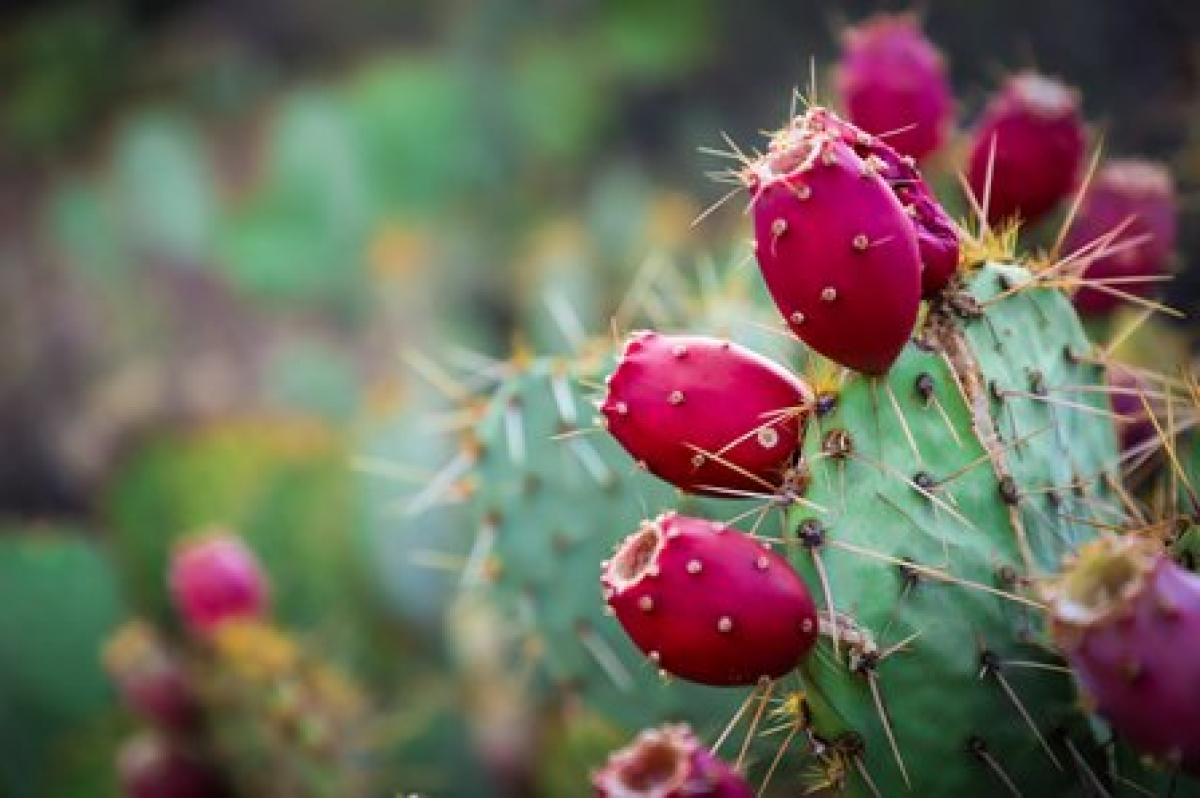 Prickly Pear Harvest