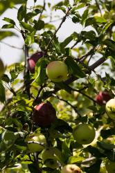 Apples ready to be picked on Los Luceros Historic Site
