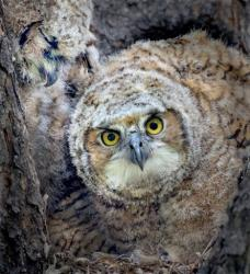 Owl Chick looks nervously at camera, Photo: Dennis Dusenbery