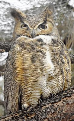 Great Horned Owl,  Photo: Dennis Dusenbery