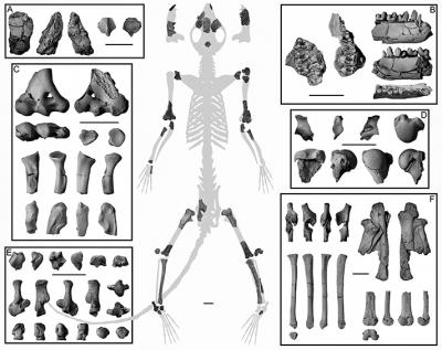A new analysis of this 62-million-year-old partial skeleton of Torrejonia, a small mammal from an extinct group of primates called plesiadapiforms, had skeletal features adapted for living in trees.