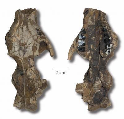 Photos: Skull of an early Paleocene mammal collected from New Mexico from the collections of the New Mexico Museum of Natural History and Science, Photo: Courtesy New Mexico Museum of Natural History and Science.