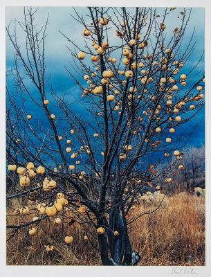 Eliot Porter, Frozen Apples, New Mexico, 1966, dye transfer print, 10 5/8 x 8 1/4 in. Collection of the New Mexico Museum of Art. Gift of Dale and Sylvia Bell, 1986 (1986.445.1) ©Amon Carter Museum of American Art. Photo by Blair Clark