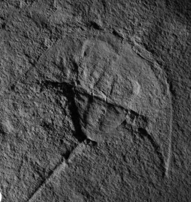 Photo of Vaderlimulus fossil horseshoe crab Courtesy: NM Museum of Natural History & Science.