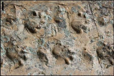 30-NMMNHS-Close-up view of the Ichniotherium trackway from Grand Canyon National Park.