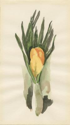 Untitled (Yellow Crocus), ca. 1930-1936