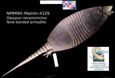 30-NMMNHS_Arctos_Armadillo