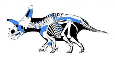 Sierraceratops skeleton copy