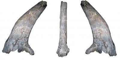 Sierraceratops horn