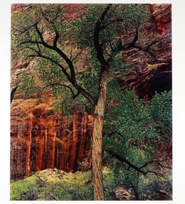 Old Cottonwood Tree, Moqui Canyon